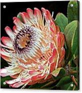 Sugarbush And Bees Acrylic Print