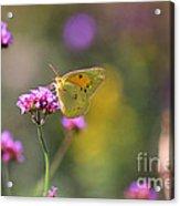 Sulphur Butterfly On Verbena Flower Acrylic Print