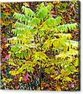 Sumac Leaves In The Fall Acrylic Print