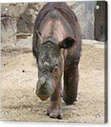 Sumatran Rhinoceros  Acrylic Print
