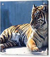 Sumatran Tiger 7d27276 Acrylic Print by Wingsdomain Art and Photography
