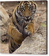 Sumatran Tiger Cub Jumping Onto Rock Acrylic Print