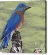Summer Blue Bird Acrylic Print