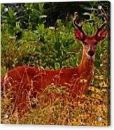 Summer Buck Acrylic Print