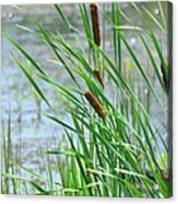 Summer Cattails In The Breeze Acrylic Print