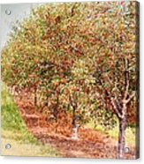 Summer Cherries Acrylic Print
