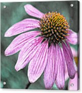 Summer Conedlower Acrylic Print