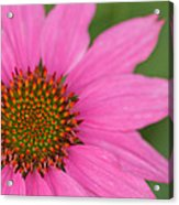Summer Coneflower Acrylic Print
