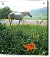 Summer Day Memories With The Paso Fino Stallion Acrylic Print by Patricia Keller