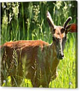 Summer Deer Acrylic Print