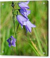Summer Flowering Harebell Acrylic Print