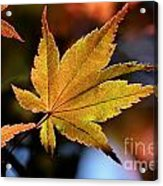 Summer Japanese Maple - 2 Acrylic Print