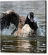 Summer Lovin - Canadian Goose Acrylic Print