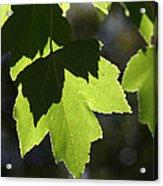 Summer Maple Leaves Acrylic Print