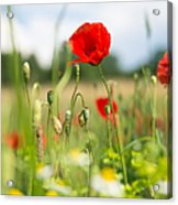 Summer Meadow With Red Poppy Acrylic Print