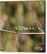 Summer Pondhawk Dragonfly Acrylic Print