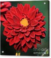 Fiery Red Dahlia Acrylic Print