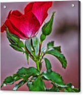 Summer Rose Acrylic Print