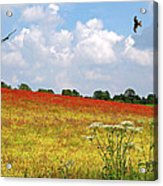 Summer Spectacular - Red Kites Over Poppy Fields Acrylic Print