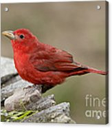 Summer Tanager Acrylic Print