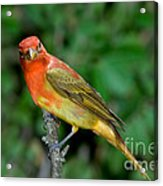 Summer Tanager Changing Color Acrylic Print