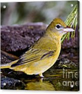 Summer Tanager Female In Water Acrylic Print