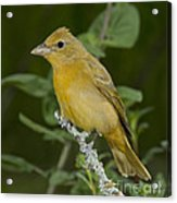 Summer Tanager Hen Acrylic Print