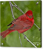 Summer Tanager Male Acrylic Print