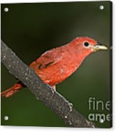 Summer Tanager Male Perched-ecuador Acrylic Print