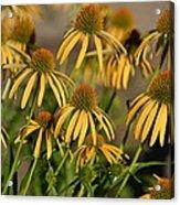 Summer Yellow Echinacea Flowers Acrylic Print