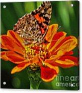 Summers Last Butterfly Acrylic Print