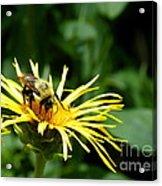 Summertime Bee Acrylic Print