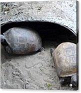 Sun Basking Turtles Acrylic Print
