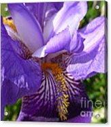 Sun Dance Iris Acrylic Print