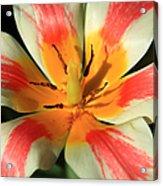 Flower Of Velvet Acrylic Print