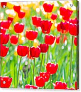 Sun Drenched Tulips - Featured 3 Acrylic Print
