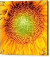 Sun Flower Power Acrylic Print