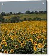 Sun Flower Sea Acrylic Print