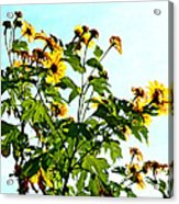 Sun Flowers In The Sun Acrylic Print