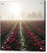 Sun In Fog And Tulips Acrylic Print