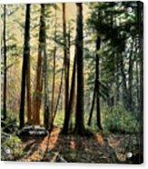 Sun In The Hemlocks Acrylic Print