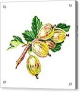 Sun Kissed Gooseberries Branch Acrylic Print