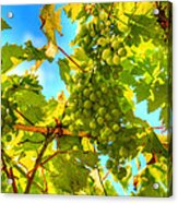 Sun Kissed Green Grapes Acrylic Print by Eti Reid