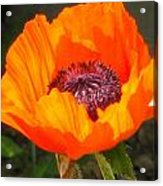 Sun-kissed Poppy Acrylic Print