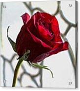 Sun Kissed Rose Acrylic Print