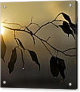 Sun Leaves Acrylic Print