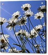 Sun Lit Daisies Acrylic Print