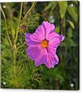 Sun Lit Wildflower Acrylic Print