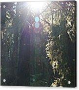 Sun Penetrates The Redwood Forest Acrylic Print
