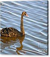 Sun Shines On Feathers Acrylic Print